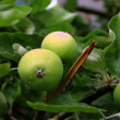 Green apples on a branch. — Foto Stock
