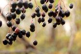 Fläder frukt. — Stockfoto