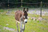 Landscape Brown Donkey in Field — Stock Photo