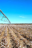 Pivot over Cotton Field Ready to Harvest — Stock Photo