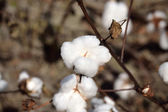 Landscape Cotton Boll on Plant — Stock Photo
