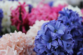 Gentle colorful flowers in Keukenhof garden. — ストック写真
