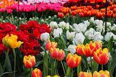 Multi-colored tulips in Keukenhof — Stock Photo