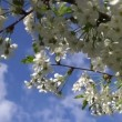 Spring flowering cherry tree with white flowers and blue sky with clouds with the movement — Stock Video