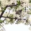 Spring flowering cherry tree with white flowers and sparrow — Stock Video