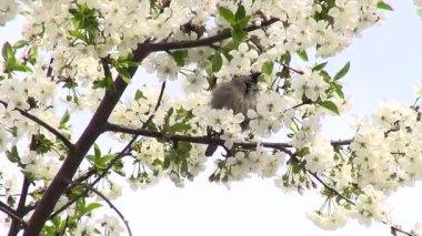 春天樱花树有白花和麻雀