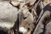 Portrait of a donkey — Stock Photo