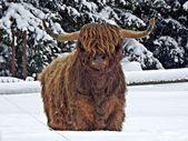 Scottish highland cattle in winter — Stock Photo