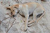 Puppy sleeping on the beach — Foto Stock