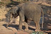 Baby elephant — Stock Photo