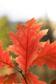 Red leave — Stockfoto