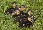 утят кряквы, сидя в зеленой траве — Стоковое фото