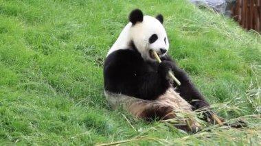 Big panda eating bamboo stalk — Stock Video