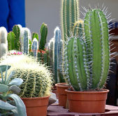 Small cacti — Stock Photo