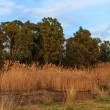 Reeds and trees in spring — Stock Photo