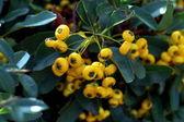 Yellow Berries — Stock Photo
