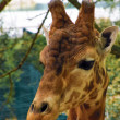 Giraffe look at you — Stock Photo