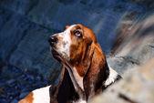 Perro raza basset hound en la playa — Foto de Stock