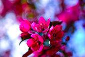 Pink flower fruit tree — Stock Photo