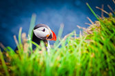 Atlantic Puffin In iceland — Stock Photo