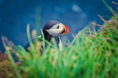 Atlantic Puffin In iceland — Stockfoto