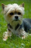 Little dog — Stockfoto
