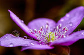 Bloom with dew — Foto Stock