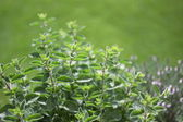 Small herb garden — 图库照片