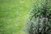 Small herb garden — Stock Photo