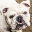 Bulldog — Stock Photo #36744295