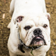 Bulldog — Stock Photo #36744337