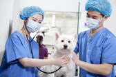 Veterinarians examining dog — Stock Photo