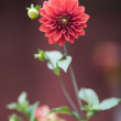 Red dahlias — Stock Photo #36644289