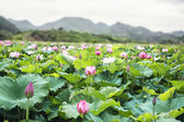 Pink lotus flowers on a lake in China — Stock Photo