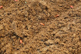 French bean seed in the soil — Stock Photo