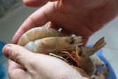 Grey shrimps in the palms of a man — Stock Photo