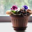 Cyclamen in the pot — Stock Photo #35581223