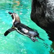 Swimming pinguin — Stock Photo