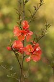 Branch of Japanese quince in blossom — Stock Photo