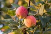 Pommes sur un arbre — Photo