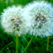 Two dandelions on a grass background — Stock Photo