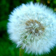 A dandelion on a grass background — Stock Photo
