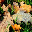 Autumn Oak leaves covered with dew drops — Stock Photo