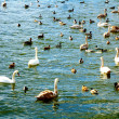 Lake with swans — Stock Photo #37552475