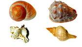 Seashell isolated on white — Stock Photo