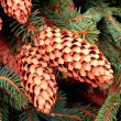 Pine cones on branches — 图库照片 #38338499