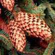 Stock Photo: Pine cones on branches