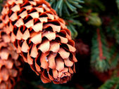 Pine cones on branches — Stock Photo