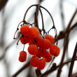 Red ashberry on branch in autumn — Stock Photo #40979941