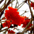 Red ashberry on branch in autumn — Stock Photo #40979945